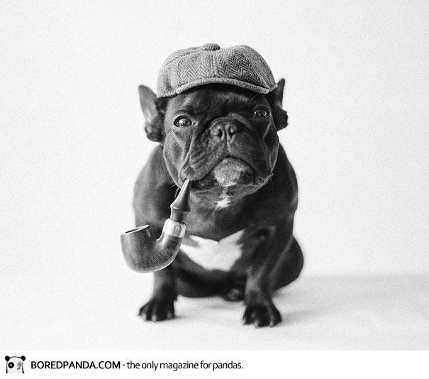 trotter-french-bulldog-13
