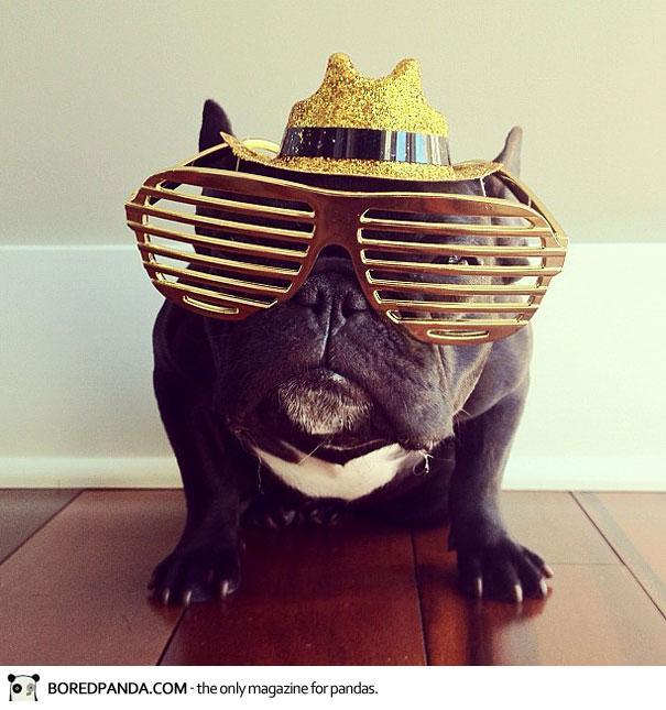 trotter-french-bulldog-5