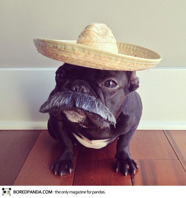 trotter-french-bulldog-6